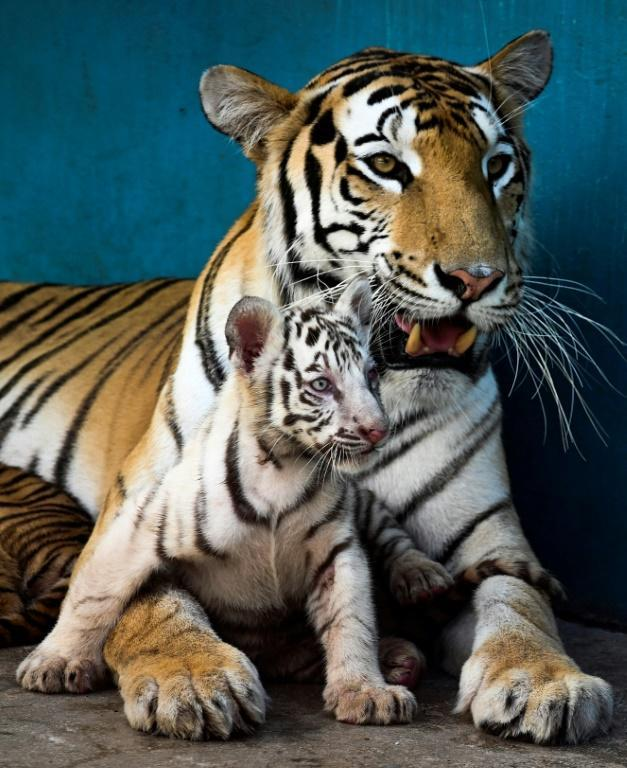 White tigers are Bengal tigers whose parents carry a recessive gene