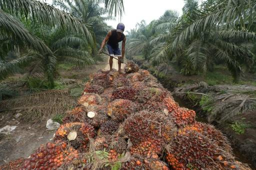 Palm oil seeds being harvested in Sumatra, Indonesia -- the edible vegetable oil is a key ingredient in goods from shampoo to biscuits