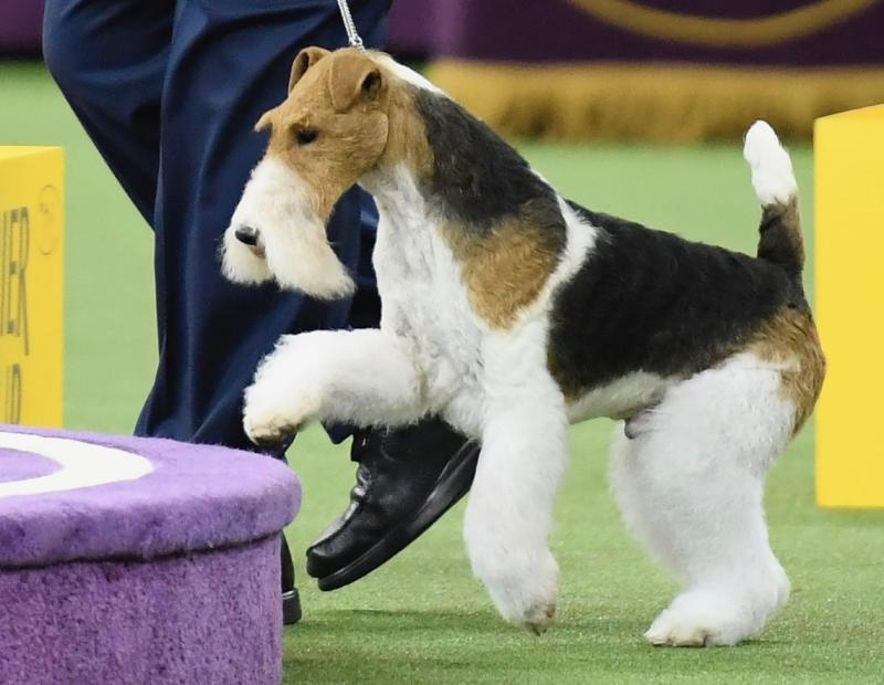 Wire Fox Terrier Rescue Midwest | King Becomes 15th Wire Fox Terrier To Win Westminster Dog Show