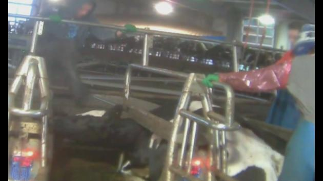 Cows beaten, hanged and whipped at Canadian dairy farm