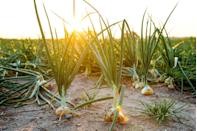 """<p>Wild onion or garlic used to grow around the Chicago River, leading to the name <a href=""""https://books.google.com/books?id=UbXao0TjfKgC&pg=PA51&lpg=PA51&dq=The+name+%E2%80%9CChicago%E2%80%9D+means+%E2%80%9Conion+field.%E2%80%9D&source=bl&ots=510n9swxWk&sig=ACfU3U1Ts4rC75i3HtdGF3jkk8kAyVrd9A&hl=en&ppis=_e&sa=X&ved=2ahUKEwi5vZOz6bDlAhVuGTQIHeLiD9EQ6AEwE3oECAwQAQ#v=onepage&q=The%20name%20%E2%80%9CChicago%E2%80%9D%20means%20%E2%80%9Conion%20field.%E2%80%9D&f=false"""" rel=""""nofollow noopener"""" target=""""_blank"""" data-ylk=""""slk:Chigagou"""" class=""""link rapid-noclick-resp""""><em>Chigagou</em></a>, meaning """"onion field"""" in Algonquin. The moniker was given to the city 1830, and it stuck!<br></p>"""