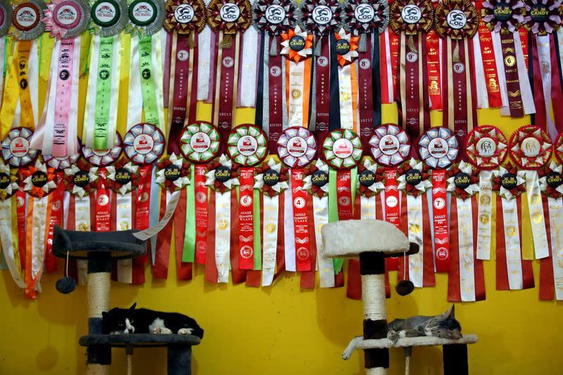 """Cats lay on cat scratchers below medals which they won in cat contests, at a cat shelter called """"Rumah Kucing Parung"""" in Bogor"""