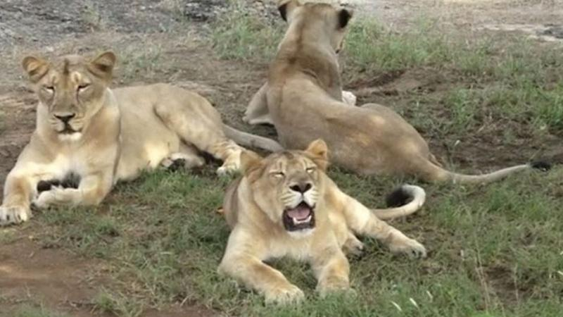 India to probe deaths of 12 endangered wild Asiatic lions over the last 10 days