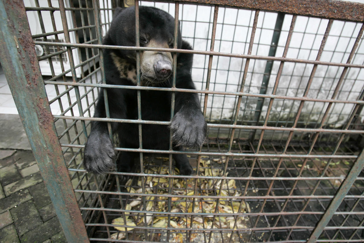 In this Saturday, March 10, 2012 photo, a moon bear which suffers from a skin tumor sits inside a cage at the quarantine section of Surabaya Zoo in Surabaya, East Java, Indonesia. Indonesia's biggest zoo, once boasting one of the most impressive and well cared for collections of animals in Southeast Asia, is struggling for its existence following reports of suspicious animal deaths and disappearances of endangered species. (AP Photo/Trisnadi)