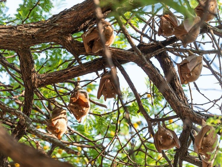 Several fruit bats hang upside down from tree branches.