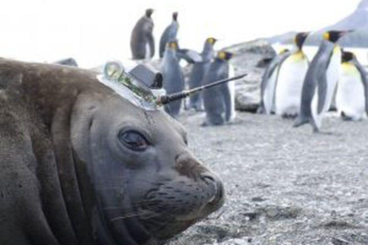 "<img alt=""""/><p>Hefty elephant seals regularly dive <a rel=""nofollow"" href=""http://earthguide.ucsd.edu/elephantseals/diving/index.html"">more than 2,500 feet</a> underwater, holding their breath for 30 minutes while swimming in the dark, frigid ocean depths.</p> <p>This remarkable ability makes these mammals well-suited to collect critical data about deep, warming ocean waters that scientists believe could accelerate the thaw of the vulnerable West Antarctic glaciers. If melted completely, these glaciers, which once included the <a rel=""nofollow"" href=""https://mashable.com/2017/02/16/antarctica-iceberg-glacier/?utm_campaign=Mash-BD-Synd-Yahoo-Science-Full&utm_cid=Mash-BD-Synd-Yahoo-Science-Full"">Manhattan-sized iceberg</a> that broke off the Pine Island Glacier last year, would raise sea levels by some 10 feet, according to the seal-study's researchers. </p> <p>NASA recently <a rel=""nofollow"" href=""https://www.nasa.gov/feature/jpl/new-study-brings-antarctic-ice-loss-into-sharper-focus"">confirmed</a> that ice losses in the West Antarctic are ramping up, ""probably in response to global warming.""</p> <div><p>SEE ALSO: <a rel=""nofollow"" href=""https://mashable.com/2018/05/17/active-hawaii-volcano-loihi-underwater-pacific/?utm_campaign=Mash-BD-Synd-Yahoo-Science-Full&utm_cid=Mash-BD-Synd-Yahoo-Science-Full"">Deep beneath the Pacific, another active Hawaiian volcano waits to emerge</a></p></div> <p>To better understand how the ice may thaw, scientists attached sensors to the foreheads of 14 southern elephant and Weddell seals, who hunt for fish in these deep waters, in 2014. The seals made over 11,000 deep dives before their annual molting, or skin shedding, naturally detached the devices — but not before providing scientists with an unprecedented amount of information.</p> <p>""It's a world away from what we had before,"" Helen Mallett, a researcher at the University of East Anglia who led the study, said in an interview. The study was <a rel=""nofollow"" href=""https://agupubs.onlinelibrary.wiley.com/doi/pdf/10.1029/2018GL077430"">published</a> in the journal <em>Geophysical Research Letters</em> last week.</p> <p><img title=""Wild research seals near West Antarctica."" alt=""Wild research seals near West Antarctica.""></p> <p>Wild research seals near West Antarctica.</p><div><p>Image:  Lars Boehme (SMRU)</p></div><p>Of these 11,000 dives, 6,700 provided good, scientifically useful ""profiles"" of the water's temperature at different depths. Until the seals, it took 20 years of scientists using long cables to gather just 1,000 profiles, said Mallet.</p> <p>This is an immensely difficult part of the world to study. It's remote. It's deep. And for much of the year, surface ice and perilous icebergs makes getting there impossible.</p> <p>""In winter it's inaccessible to humans,"" said Mallett. ""It's too harsh.""</p> <p>This wasn't the first time researchers had employed seals to visit ocean depths, but it was a first for this vulnerable region. It could only be done because scientists spotted seals living in the area. </p> <p></p>  <p>The West Antarctic ice sheets are particularly vulnerable to melting because they extend far over the ocean, so there's no land to protect their icy undersides from influxes of warmer water. </p> <p>The water, coming from northern oceans, certainly isn't ""warm,"" in the sense that bathwater is warm. In fact, Mallett characterizes it as ""slightly less freezing water"" compared to water closer to the frigid the Antarctic surface.</p> <p>Still, this slightly warmer water is enough to thaw the undersides of the ice sheets, eating away at them. These glaciers matter because they act as plugs, holding the ice on land back. If the glaciers go, so could the land ice, exposing more vulnerable ice in a vicious melting cycle. </p> <p>""There's nothing to stop it from getting faster,"" said Mallet. </p> <p><img title=""A NASA map, derived from satellite imagery, showing the velocity of Antarctic ice moving toward the ocean."" alt=""A NASA map, derived from satellite imagery, showing the velocity of Antarctic ice moving toward the ocean.""></p> <p>A NASA map, derived from satellite imagery, showing the velocity of Antarctic ice moving toward the ocean.</p><div><p>Image:  NASA</p></div><p>It's still unknown just how rapidly warmer ocean waters will erode the glaciers. But Mallett hopes the seal monitoring can change that.</p> <p>""In terms of pinning that down for the near future, it's so difficult to do,"" she said. ""We just don't know enough of what's going on there. We don't have enough to work with yet.""</p> <p>But it seems researchers will have the opportunity to  learn more, using both seals and even submarines.</p> <p>Mallet said another study coauthor was given enough funding to use these wild seals for another three years. Meanwhile, the British research submarine ""Boaty McBoatface"" is <a rel=""nofollow"" href=""https://mashable.com/2018/04/30/antarctica-glacier-thwaites-boaty-mcboatface/?utm_campaign=Mash-BD-Synd-Yahoo-Science-Full&utm_cid=Mash-BD-Synd-Yahoo-Science-Full"">also headed to Antarctica</a>, as part of the Thwaites Glacier collaboration to investigate how warmer waters are altering these vulnerable glaciers.</p> <div> <h2><a rel=""nofollow"" href=""https://mashable.com/2017/04/20/giant-icebergs-a-sign-of-a-warm-arctic-winter/?utm_campaign=Mash-BD-Synd-Yahoo-Science-Full&utm_cid=Mash-BD-Synd-Yahoo-Science-Full"">WATCH: Giant icebergs are a big tourist draw in Newfoundland, and a warning sign</a></h2> <div> <p><img alt=""Https%3a%2f%2fvdist.aws.mashable.com%2fjw%2f2017%2f5%2f824f73e9 c84d c2fb%2fthumb%2f00001""></p>   </div> </div> <p>   </p> <p> </p> <p> </p>"