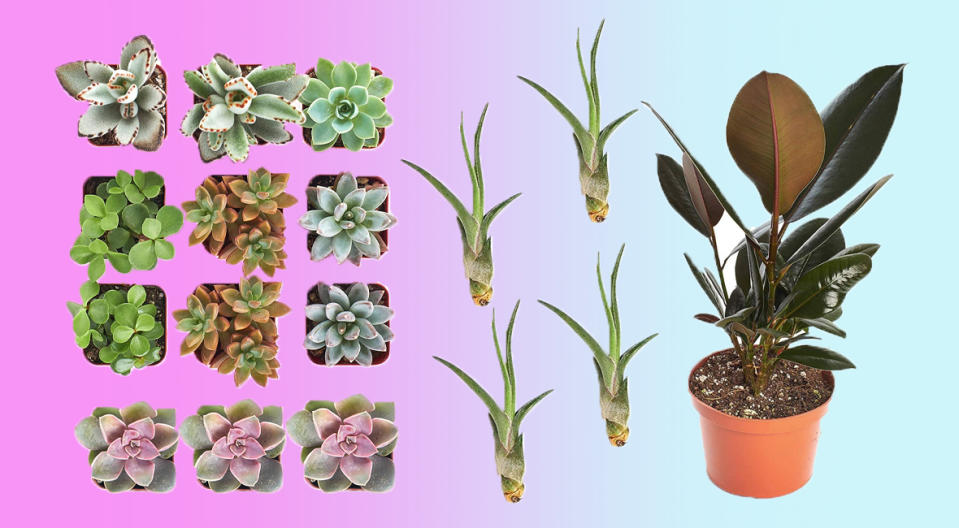 Yes, you can keep these succulents, air plants, and rubber plants alive at home! (Photo: Amazon)