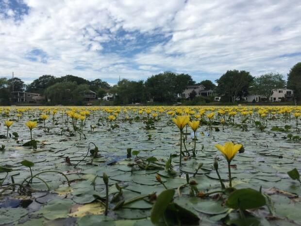Yellow floating heart carpets almost all of Little Albro Lake. (Elizabeth Chiu/CBC - image credit)