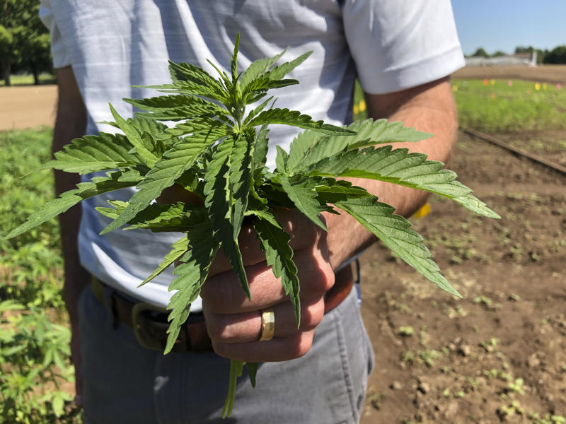In this Thursday, June 13, 2019, photo, Lloyd Nackley, a plant ecologist with the Oregon State University Extension Service, holds freshly picked tops of hemp plants from one of Oregon State's hemp research stations in Aurora, Ore. A unit of wheat is a called a bushel, and a standard weight of potatoes is called a century. But hemp as a fully legal U.S. agricultural commodity is so new that a unit of hemp seed doesn't yet have a universal name or an agreed-upon quantity. (AP Photo/Gillian Flaccus)
