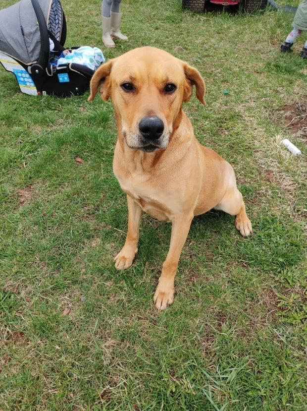 Everest, a four-year old lab mix, was taken back home to Lennox Island by boat after she was found near Hog Island on Tuesday. (Shelley Perry - image credit)