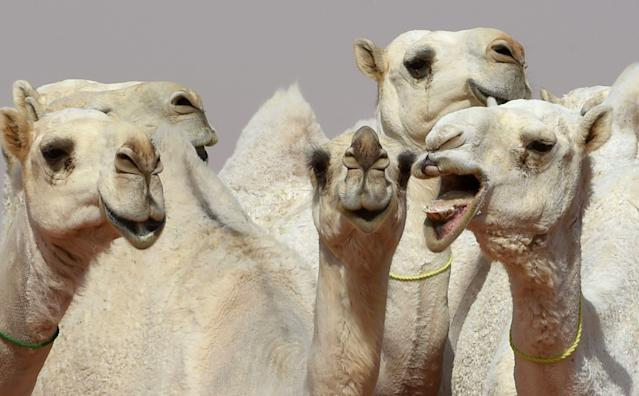 Camels during a beauty contest as part of the annual King Abdulaziz Camel Festival. (Photo: Getty Images)