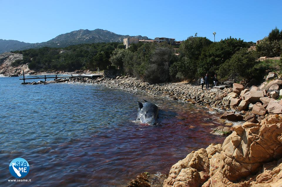 A dead pregnant sperm whale washed up on the shore in Sardinia was found to have 22kg of plastic in its stomach, according to Scientific Education and Activities in the Marine Environment's Sardinia team (SEAME). (Courtesy of SEAME Sardinidia)