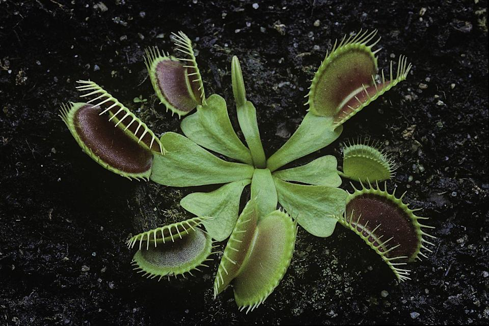 "<p><strong>State Carnivorous Plant: Venus Flytrap</strong></p><p>The state flower is the Dogwood, but they also made a special category for this fly-eating plant that will kill and eat the pest. In addition,<a href=""https://files.nc.gov/ncparks/37/North-Carolina-State-Symbols.pdf"" rel=""nofollow noopener"" target=""_blank"" data-ylk=""slk:North Carolina apparently likes niche categories"" class=""link rapid-noclick-resp""> North Carolina apparently likes niche categories</a> as they have an official red berry, the strawberry and the blue berry, the blueberry. </p>"
