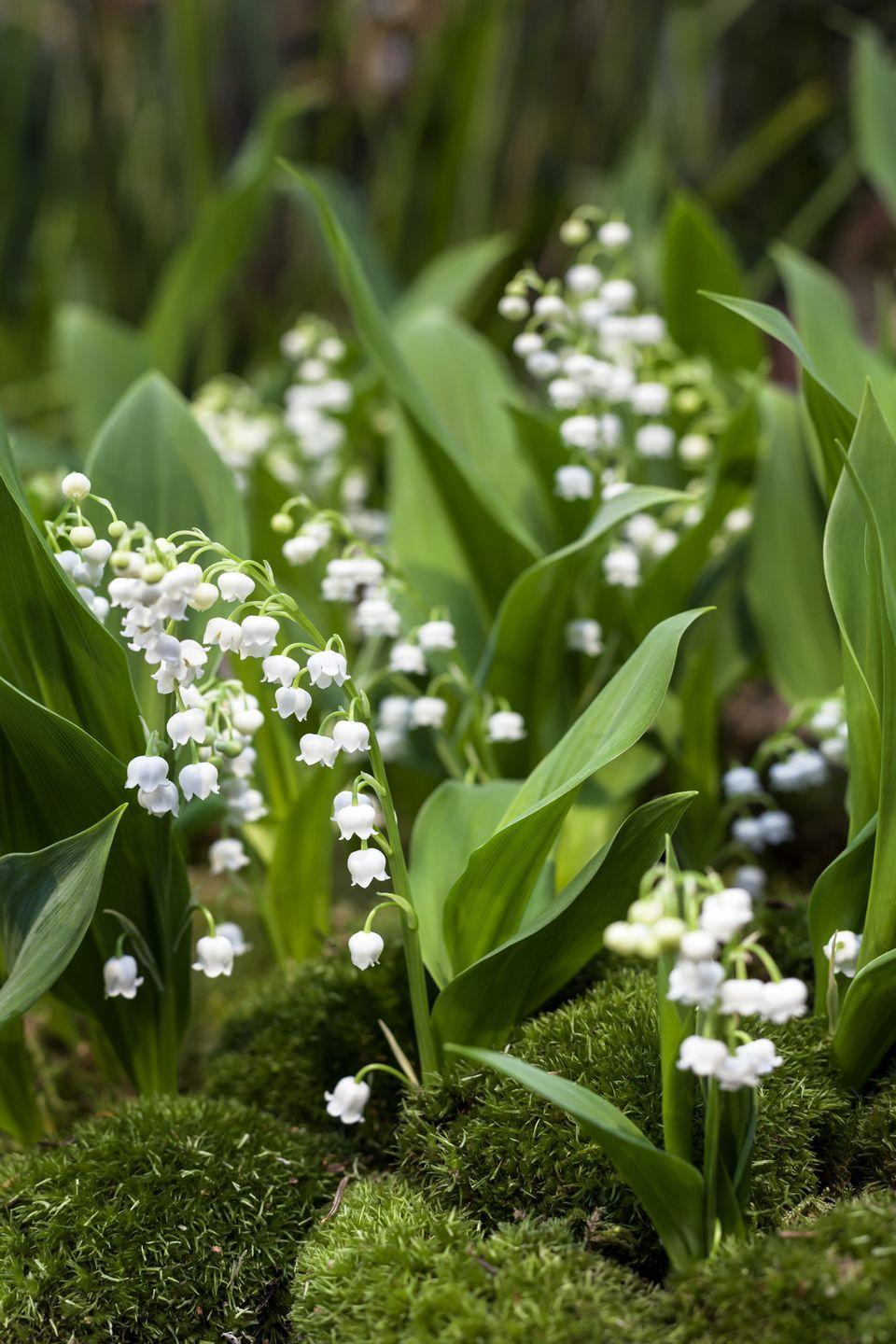 """<p>An old-fashioned perennial that's fallen slightly out of favor because it can become quite aggressive, lily of the valley still is a darling spring bloomer. Its tiny white bells dangle on long stems and have a sweet scent in mid-spring. Plant it where it has room to spread as a ground cover, but not too near other perennials. Give lily of the valley mostly shade.</p><p><a class=""""link rapid-noclick-resp"""" href=""""https://www.springhillnursery.com/product/lily-of-the-valley-nosegay"""" rel=""""nofollow noopener"""" target=""""_blank"""" data-ylk=""""slk:SHOP LILY OF THE VALLEY"""">SHOP LILY OF THE VALLEY </a></p>"""