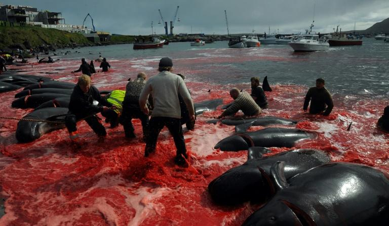 Fishermen and volunteers pull on shore pilot whales killed in a May hunt of the Faroe Islands, where pilot whaling is legal -- Bolsonaro's tweets wrongly targeted Norway, leading to ridicule of the Brazilian leader on social media