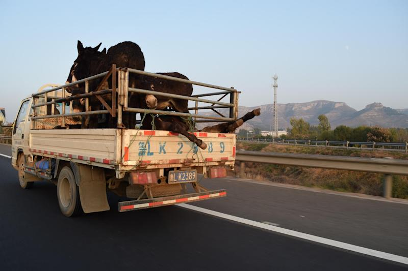 Donkeys on their way to the slaughterhouse in Dong'e, China (Simon Parry/Red Door News)