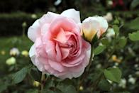<p>March or early spring is an ideal time to plant roses, especially bare-root roses which are typically only available in early spring. You'll want to make sure to wait until after the last frost. If you purchase bare-root varieties, make sure you plant soon after bringing the plant home (or soon after it arrives, if ordered online). </p>