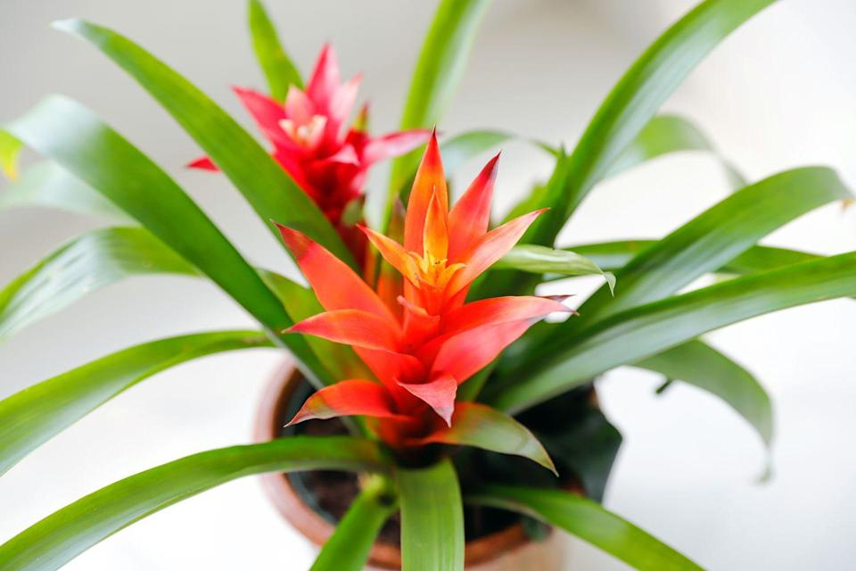 "<p>Bright and colourful, bromeliad plants are the perfect accessory for every home. To keep it thriving, ensure it gets plenty of bright light, optimal humidity and sufficient drainage. </p><p>As well as being ideal for owners who don't want a plant that requires a lot of work, it's a non-toxic species for pets. Just be careful your cat or dog doesn't dig up the soil when you're not looking. </p><p><a class=""link rapid-noclick-resp"" href=""https://go.redirectingat.com?id=127X1599956&url=https%3A%2F%2Fwww.primrose.co.uk%2F-p-132692.html&sref=https%3A%2F%2Fwww.housebeautiful.com%2Fuk%2Fgarden%2Fplants%2Fg35160955%2Fdog-friendly-plants%2F"" rel=""nofollow noopener"" target=""_blank"" data-ylk=""slk:BUY NOW VIA PRIMROSE"">BUY NOW VIA PRIMROSE</a> </p>"