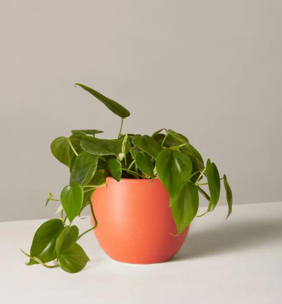 """Find this Philodendron plant and clay planter for $38 at <a href=""""https://fave.co/30wZJLN"""" rel=""""nofollow noopener"""" target=""""_blank"""" data-ylk=""""slk:The Sill."""" class=""""link rapid-noclick-resp"""">The Sill.</a>"""