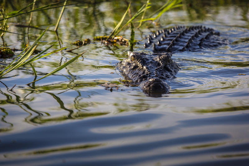 Crocodile in water at Kakadu National Park MT border reopen July 17