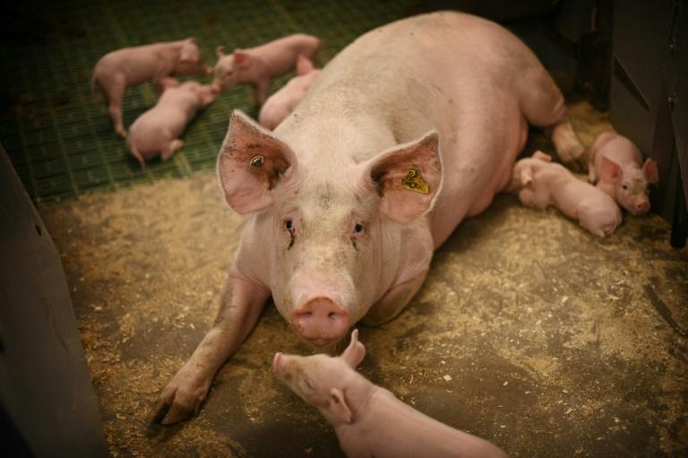 An inability to slaughter animals will create welfare issues, farmers say (AFP/DANIEL LEAL-OLIVAS)