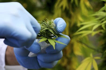 A production assistant collects a Cannabis plant in a state-owned agricultural farm in Rovigo