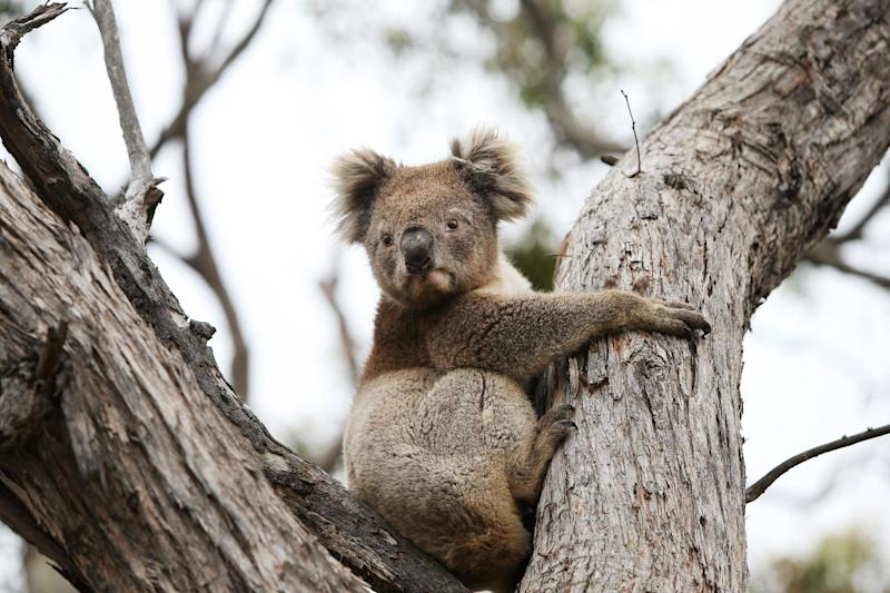 The Kangaroo Island Wildlife Park has treated more than 600 animals since the fires: Getty Images
