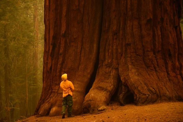 California redwood trees grow taller - over 100 metres - but sequoias are the largest trees by volume in the world (AFP/Patrick T. FALLON)