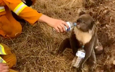A koala drinks water from a bottle given by a firefighter in Cudlee Creek, South Australia - Credit: AP