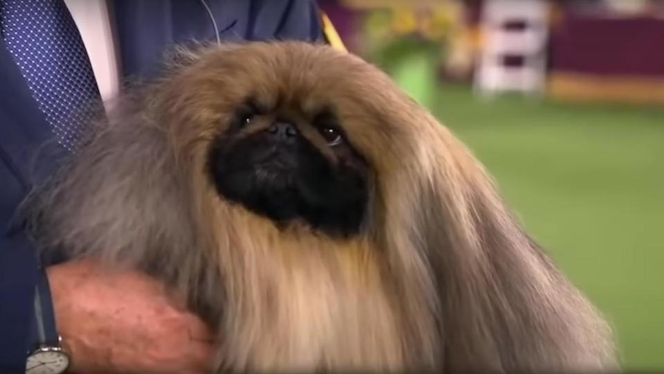 Wasabi the Pekingese dog who won this year's title for Best In Show at the Westminster do show, looking up at his interviewer.