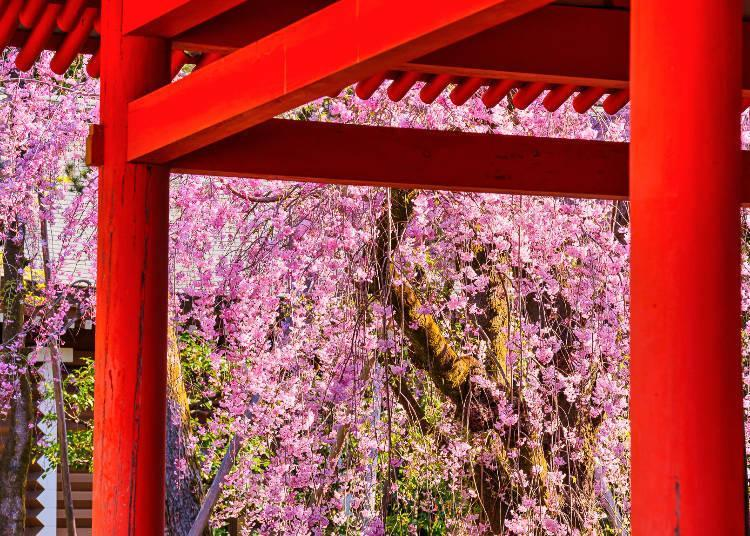 The sight of cherry blossoms and vermilion buildings is breathtakingly beautiful