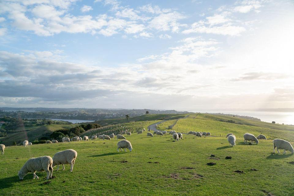 <p>Sheep graze in the lush green hills of Aukland.</p>