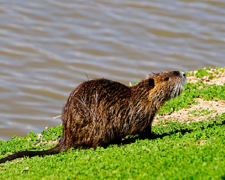 Nutria were introduced to Louisiana in the 1930s for fur farming and released, either accidentally or intentionally, into the coastal marshlands according to Louisiana Department of Wildlife and Fisheries