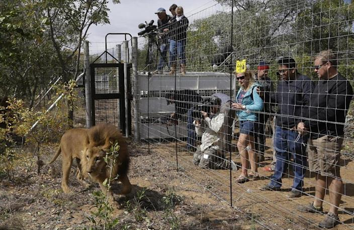 <p>A former circus lion explores the enclosure as members of the media and the staff watch his acclimatization at Emoya Big Cat Sanctuary in Vaalwater, South Africa, on May 1, 2016. <i>(Themba Hadebe/AP)</i></p>