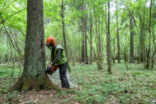 Poland to keep logging in ancient forest: minister