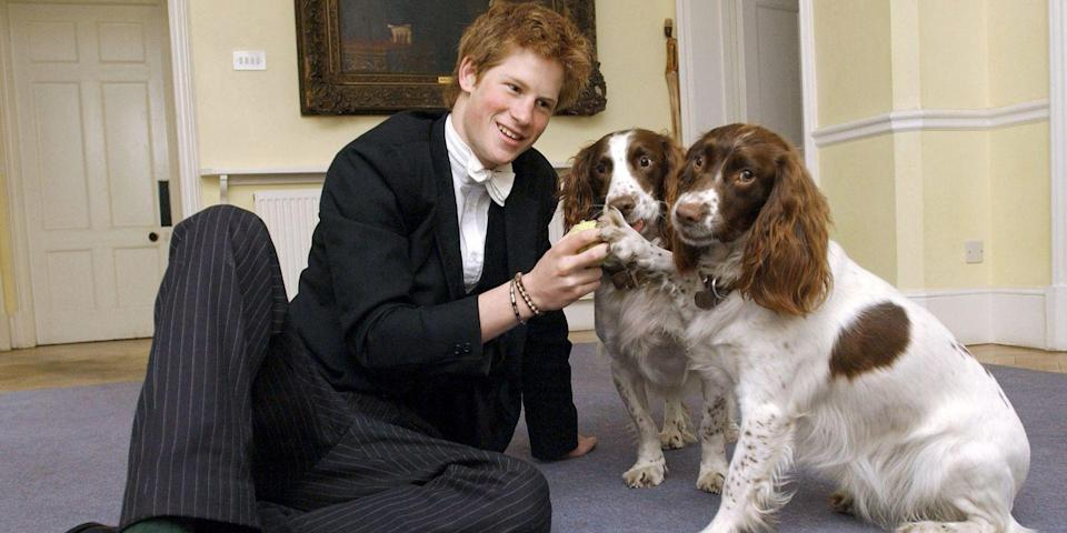 <p>Harry plays with the dogs owned by the Housemaster Of Manor at Eton College.</p>