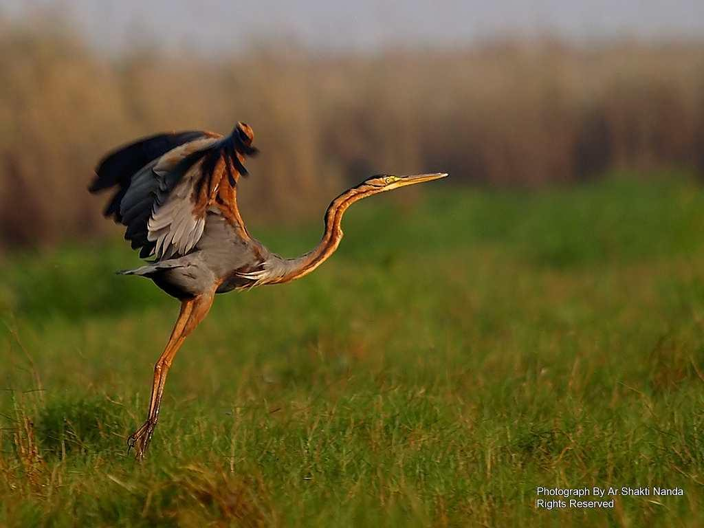 A graceful <strong>Purple Heron</strong> (<em>Ardea purpurea</em>) in Mangalajodi wetland. A resident in India, it is also found in Europe and Africa.