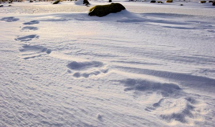 <p>Like their footprints. That's right, you can extract polar bear DNA from tracks they've left behind in the snow. The process involves collecting snow from footprints, melting the snow in a lab, and then filtering the water to gather skin cells.</p>
