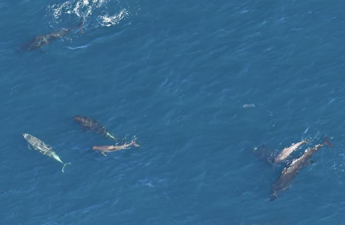 Bottlenose dolphins and pilot whales swim in the Atlantic Ocean in 2017. (Photo: New England Aquarium's Anderson Center for Ocean Life aerial survey of Northeast Canyons and Seamounts Marine National Monument)