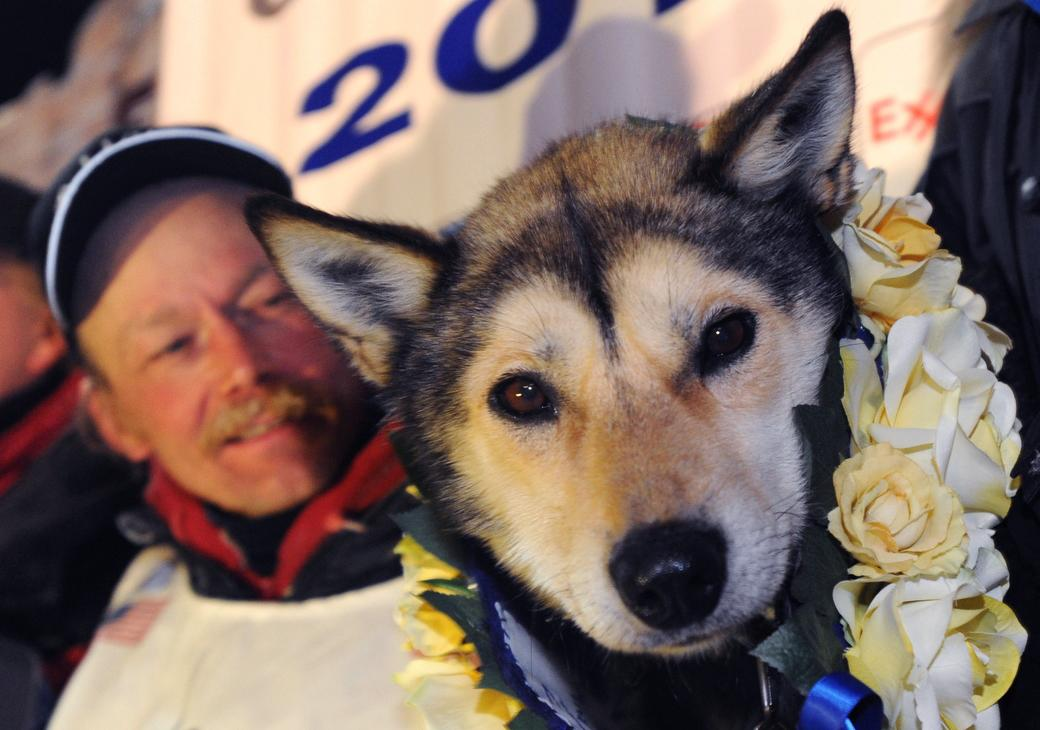 Mitch Seavey holds one of his lead dogs, Taurus, as he poses for photographers at the finish line of the Iditarod Trail Sled Dog race in Nome, Alaska, Tuesday, March 12, 2013. Seavy became the oldest winner and a two-time Iditarod champion. (AP Photo/The Anchorage Daily News, Bill Roth) LOCAL TV OUT (KTUU-TV, KTVA-TV) LOCAL PRINT OUT (THE ANCHORAGE PRESS, THE ALASKA DISPATCH)