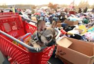 Diesel, a French bulldog puppy, looks on from a shopping cart at an encampment for fire evacuees in Chico, California (AFP Photo/Josh Edelson)