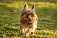 """<p>Originally a hunter of small prey, the Australian Silky Terrier is a feisty dog, despite only weighing eight to 10 pounds when fully grown. While their coats are long, Dog Time notes that they're <a href=""""https://dogtime.com/dog-breeds/silky-terrier#/slide/1"""" rel=""""nofollow noopener"""" target=""""_blank"""" data-ylk=""""slk:pretty easy to care for"""" class=""""link rapid-noclick-resp"""">pretty easy to care for</a>, requiring only a couple of brushings a week. </p><p><strong>_________________________________________________________</strong></p><p><em>Want more pet care tips? You're in luck! <a href=""""https://subscribe.hearstmags.com/subscribe/womansday/253396?source=wdy_edit_article"""" rel=""""nofollow noopener"""" target=""""_blank"""" data-ylk=""""slk:Subscribe to Woman's Day"""" class=""""link rapid-noclick-resp"""">Subscribe to Woman's Day</a> today and get <strong>73% off your first 12 issues</strong>. And while you're at it, <a href=""""https://subscribe.hearstmags.com/circulation/shared/email/newsletters/signup/wdy-su01.html"""" rel=""""nofollow noopener"""" target=""""_blank"""" data-ylk=""""slk:sign up for our FREE newsletter"""" class=""""link rapid-noclick-resp"""">sign up for our FREE newsletter</a> for even more of the Woman's Day content you want.</em></p>"""