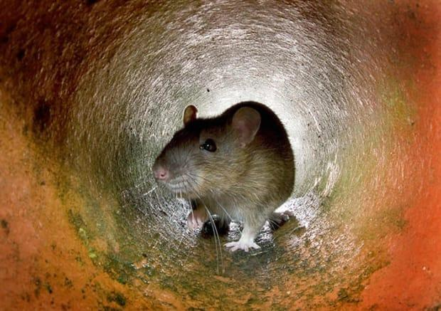 Rodenticides are meant to kill rats but can have adverse impacts on wildlife who directly or indirectly consume them. (AFP/Getty Images - image credit)