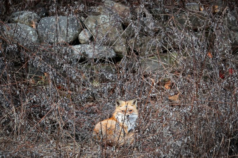 FILE PHOTO: A red fox sits in a field in Hook Mountain State Park above Nyack, New York