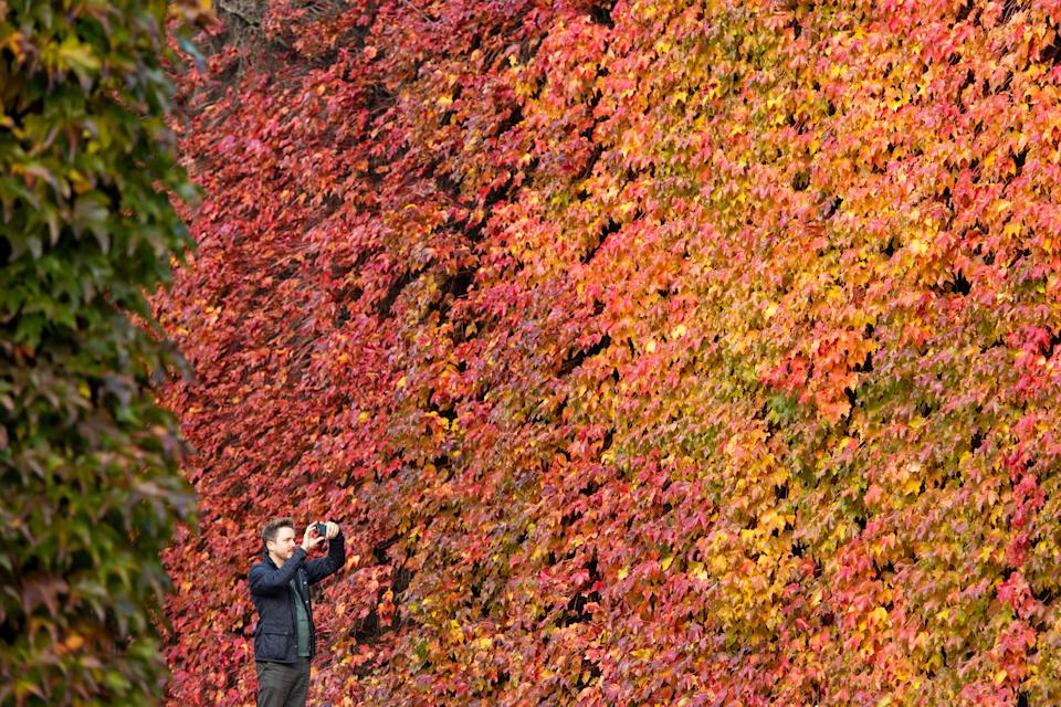 A man takes a photo of a Virginia creeper displaying autumnal colours, on the walls of the Old Admiralty Building, in Westminster, central London.