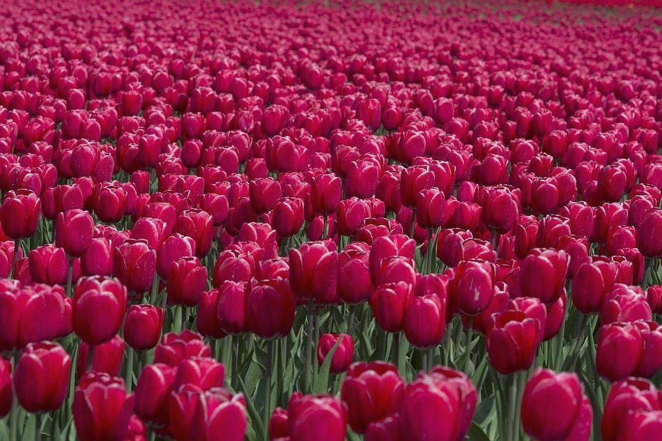 Springtime has taken hold of Europe and floriculturists are looking at a bounty of tulips this year.