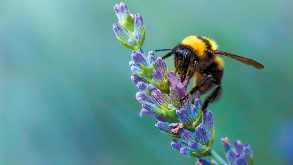 Bees love lavender