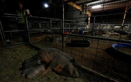 A pig and its farrow of piglets are pictured at a shelter set up at the San Bernardino County Fairgrounds due to the Blue Cut fire in Victorville, California U.S., August 18, 2016.   REUTERS/Mario Anzuoni