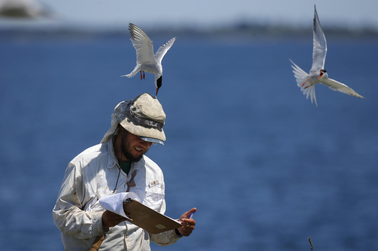 In this Thursday, July 18, 2019, photo, research assistant Michael Rickershauser is dive-bombed by common tern as he records data in their nesting colony on Eastern Egg Rock, off the coast of Maine. Padding under his hat helps soften the jab of the pointed beak. The aggressive terns provide protection for puffins by chasing off predatory gulls. (AP Photo/Robert F. Bukaty)