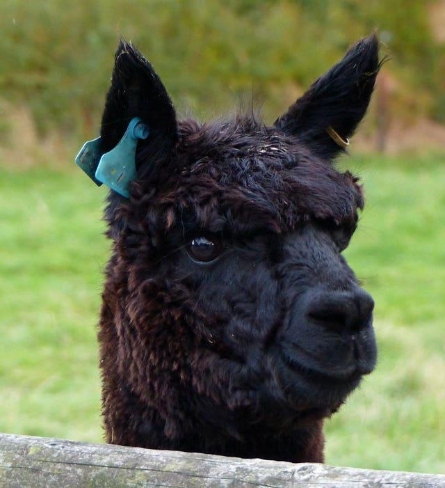 Geronimo is a six-year-old stud Alpaca imported from New Zealand (Helen Macdonald/PA)